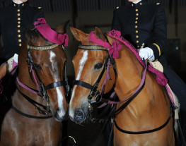 Le Cadre noir, têtes de chevaux dans le manège