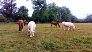 DIR_projet_Mixité équins-bovins