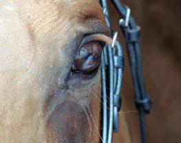L'oeil d'un cheval