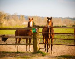 Deux chevaux regardant derrière la cloture d'un paddock