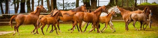 Registre d'élevage chez les chevaux