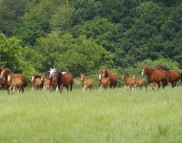 Troupeau de chevaux au près