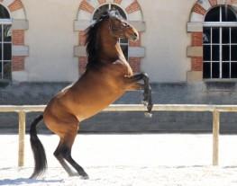 cheval cabré, démonstrations et numéros des artistes équestres au Haras national de Cluny