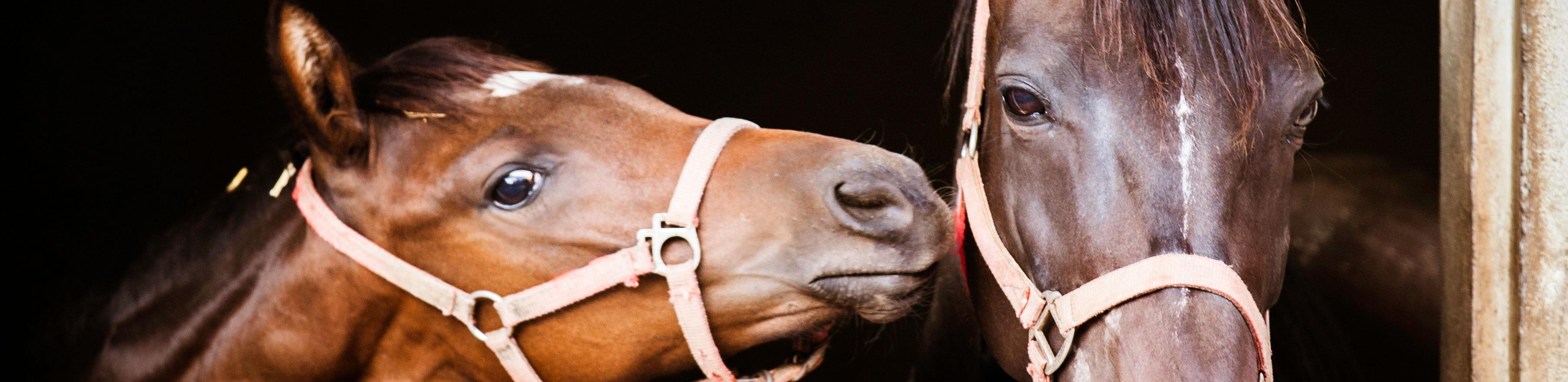 Tête d'un foal de profil avec sa mère