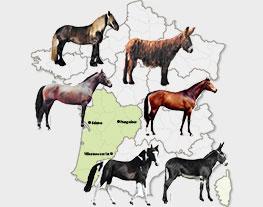 du poney landais, du pottok, de l'âne des Pyrénées, de l'anglo-arabe et des races mulassières