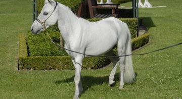 SIRE-cheval-miniature-P.GUIMARD-IFCE