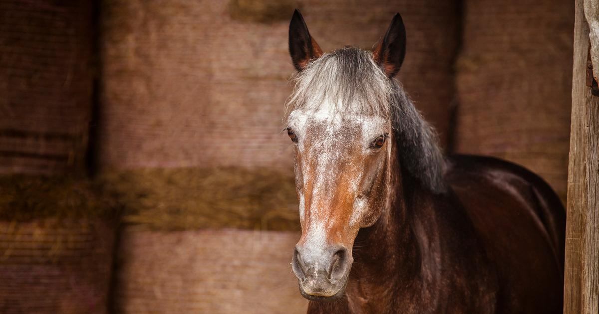 Alimentation du cheval senior - Ifce