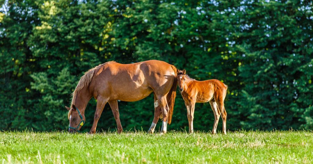 Recherche : l'apport en arginine lors de la première gestation d'une jument