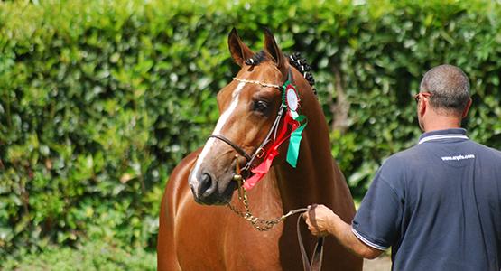 Présenter un jeune cheval en modèle & allures