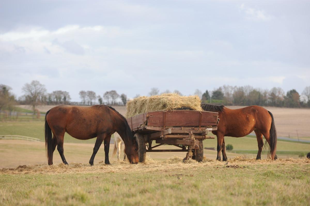 chevaux mangeant du foin dans un champs.